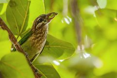 White cheeked barbet eating insects stock image