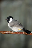 White-Cheeked Bulbul Stock Image