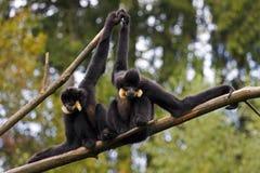 White-Cheeked Gibbon Royalty Free Stock Photos
