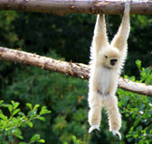 White-Cheeked Gibbon Royalty Free Stock Photos