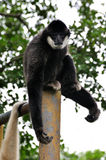 White cheeked gibbon Stock Images