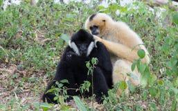 White-cheeked Gibbon stock photos