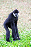 White Cheeked Gibbon Stock Photo