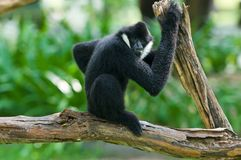 White-cheeked gibbon Royalty Free Stock Photography