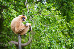 White Cheeked Gibbon Royalty Free Stock Photo