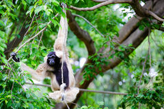 White Cheeked Gibbon Stock Photos