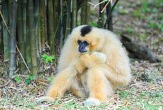 White cheeked gibbon Stock Image