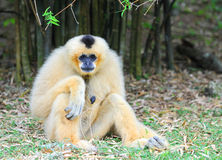 White cheeked gibbon Stock Photography