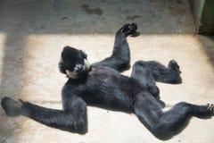 White-cheeked Gibbon Royalty Free Stock Photo