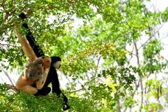 White-cheeked gibbon, close, monkey family. Female (reddish-tan), male (black) and baby (tan-black) monkeys in Zoo Miami, South Florida.  The northern white Stock Photos