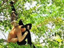 White-cheeked gibbon family Royalty Free Stock Image