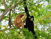 White-cheeked gibbon family in tree. Female (reddish-tan), male (black) and baby (tan-black) monkeys in Zoo Miami, South Florida.  The northern white-cheeked Royalty Free Stock Photos