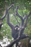 White cheeked gibbon Stock Images