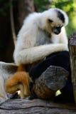 White-cheeked Gibbon (Hylobates concolor) Stock Photos