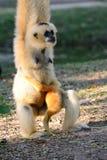 White-cheeked Gibbon (Hylobates concolor) Royalty Free Stock Photo
