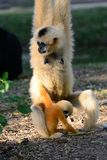 White-cheeked Gibbon (Hylobates concolor) Stock Images