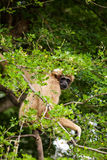 White Cheeked Gibbon Royalty Free Stock Images