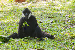 White cheeked gibbon Stock Photography