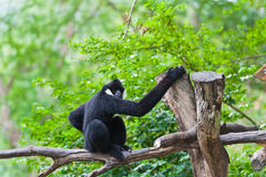White Cheeked Gibbon or Lar Gibbon Stock Photography