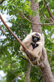 White Cheeked Gibbon or Lar Gibbon Royalty Free Stock Photography