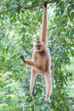 White Cheeked Gibbon or Lar Gibbon Royalty Free Stock Photo