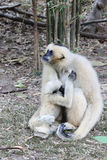 White Cheeked Gibbon or Lar Gibbon with baby Royalty Free Stock Images