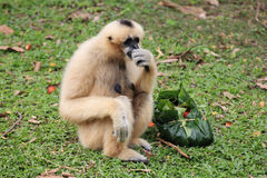 White Cheeked Gibbon or Lar Gibbon Stock Photo