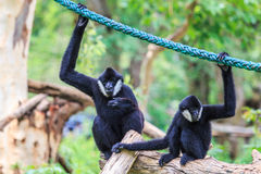 White cheeked gibbon or Lar gibbon. Gibbons are apes in the family Hylobatidae Stock Photos
