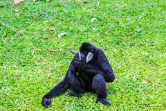 White cheeked gibbon or Lar gibbon. Gibbons are apes in the family Hylobatidae Royalty Free Stock Photography