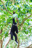White cheeked gibbon or Lar gibbon. Gibbons are apes in the family Hylobatidae Stock Images