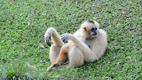 White Cheeked Gibbon or Lar Gibbon stock video footage