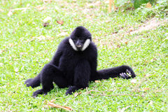 White cheeked gibbon or Lar gibbon Royalty Free Stock Image
