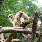 White Cheeked Gibbon or Lar Gibbon Royalty Free Stock Images