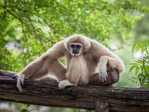 White Cheeked Gibbon or Lar Gibbon stock photo