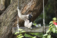 White Cheeked Gibbon Stock Photos