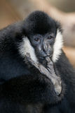 White-cheeked gibbon. Male Northern white-cheeked gibbon (Nomascus leucogenys) with finger in mouth Stock Images