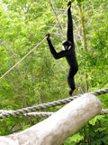 White-cheeked Gibbon Monkey Stock Image