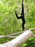 White-cheeked Gibbon Monkey Stock Image