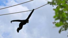 White-cheeked Gibbon monkey (Nomascus). Male northern white-cheeked Gibbon monkey swinging on a cable.  Photographed in Zoo Miami, South Florida Royalty Free Stock Image