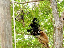 White-cheeked gibbon mother, father and baby. Female (reddish-tan), male (black) and baby (tan-black) monkeys in Zoo Miami, South Florida.  The northern white Stock Images