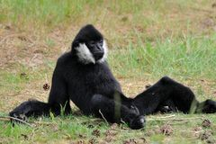 White-cheeked gibbon (Nomascus leucogenys) Royalty Free Stock Photography