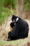 White-cheeked gibbon (Nomascus leucogenys). Male and female White-cheeked gibbon (Nomascus leucogenys) in love Royalty Free Stock Images