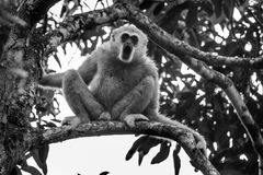 White-cheeked gibbon( Royalty Free Stock Images