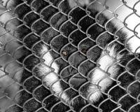 White-cheeked gibbon Nomascus leucogenys Royalty Free Stock Photos