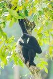White-cheeked gibbon. (Nomascus leucogenys) in the rain Stock Photo
