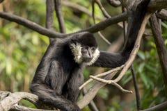 White Cheeked Gibbon (Nomascus leucogenys) Stock Photo