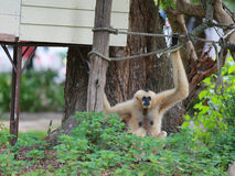 White Cheeked Gibbon Royalty Free Stock Photos