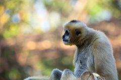 White Cheeked Gibbon Royalty Free Stock Image