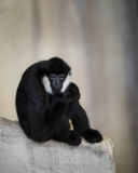 White-cheeked gibbon on rock slab Royalty Free Stock Photography