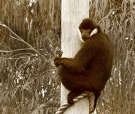 White Cheeked Gibbon in sepia Royalty Free Stock Photo